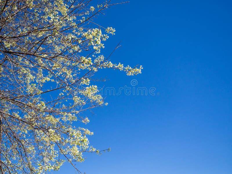 Thaise sakura of Kersenbloesem Witte Sakura royalty-vrije stock afbeelding