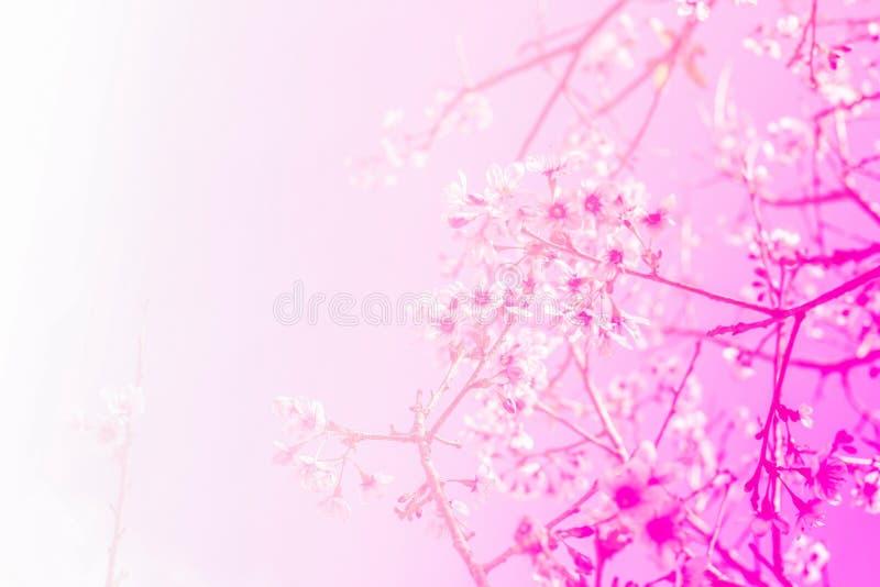 Thaise sakurabloem met zacht roze stock afbeeldingen