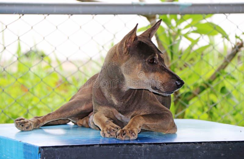 Thaise zwarte en bruine verdwaalde hond die op de lijst bepalen stock foto's