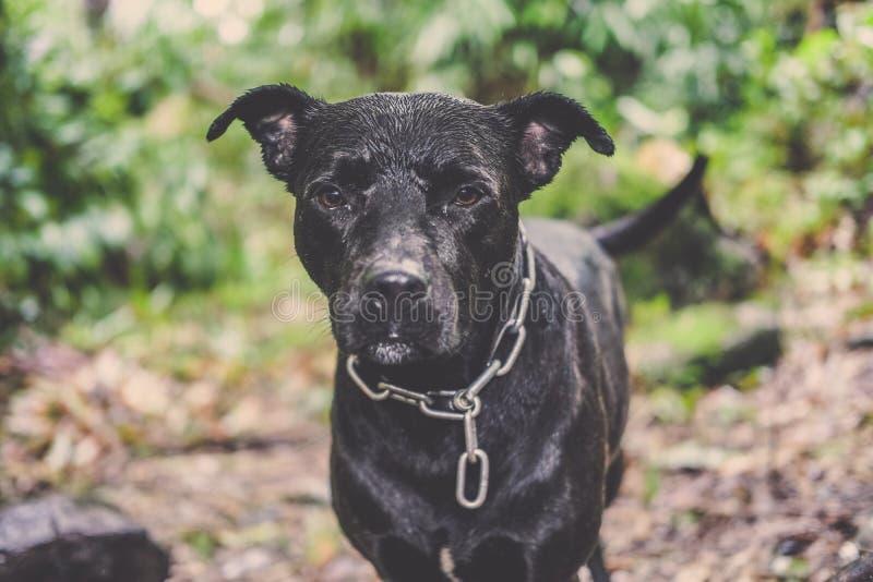 Thaise zwarte hond status en recht hoofd aan camera royalty-vrije stock foto