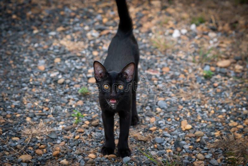 Thaise Zwarte Kat met Gele Ogen stock foto's