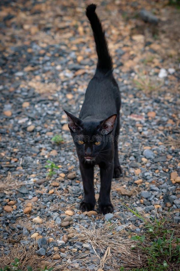 Thaise Zwarte Kat met Gele Ogen stock afbeeldingen