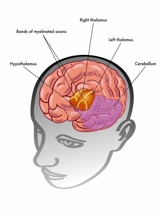 Thalamus & hypothalamus√ vektor illustrationer