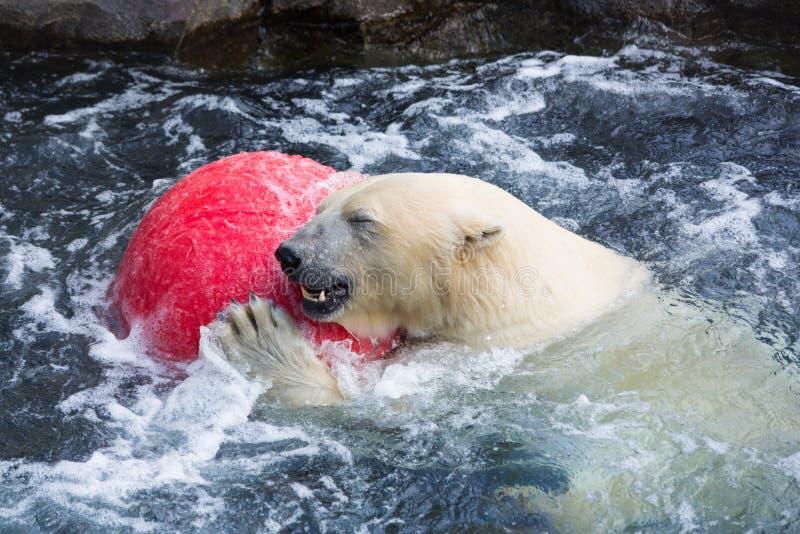 Thalarctos Maritimus (Ursus maritimus) commonly known as Polar bear. A view of a thalarctos Maritimus (Ursus maritimus) commonly known as Polar bear stock photo