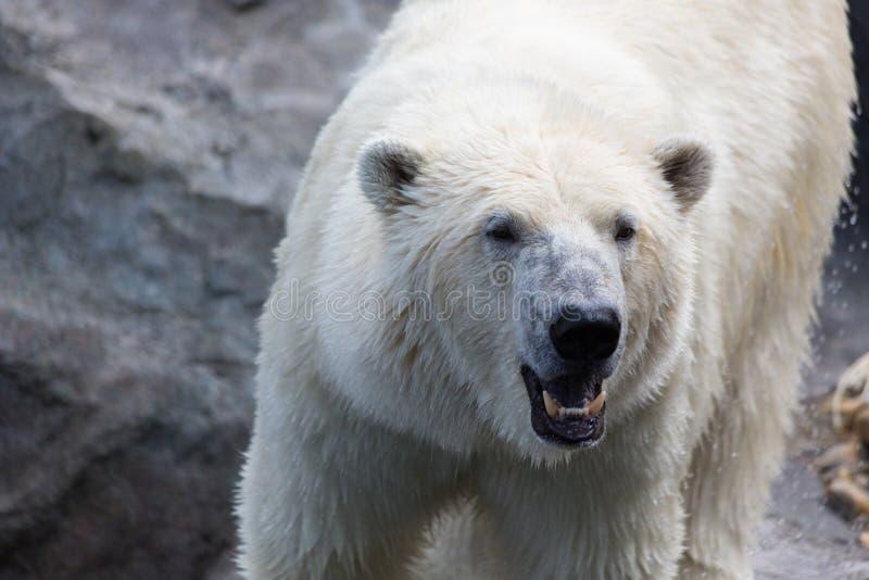 Thalarctos Maritimus (Ursus maritimus) commonly known as Polar bear. A view of a thalarctos Maritimus (Ursus maritimus) commonly known as Polar bear stock images