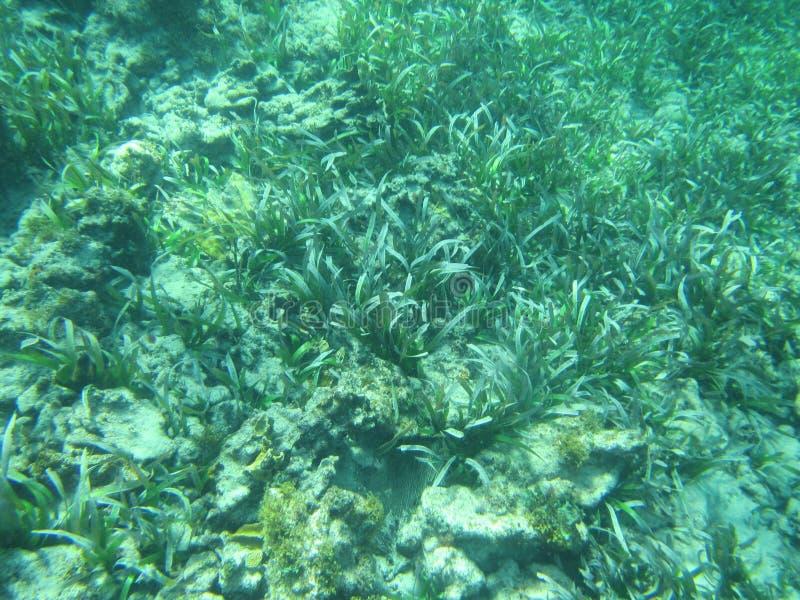 Thalassia testudinum żółwia żołnierza piechoty morskiej i trawy seagrass łóżka obrazy stock