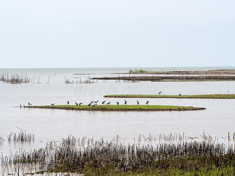 Thale Noi Bird Watching Park Fågel för liten ägretthäger eller rördrompå den gröna ön i överflödande sjönatur på Phatthalung, Tha royaltyfria bilder