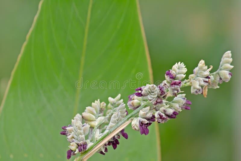 Thalia dealbata flowers close-up stock image