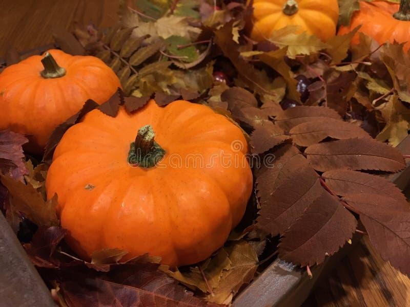 Thanks giving pumpkin royalty free stock image