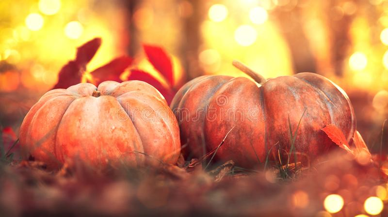 Thanksgiving day. Autumn harvest festival concept. Fall scene. Orange pumpkins over bright nature background royalty free stock photos