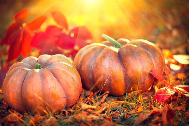 Thanksgiving day background. Orange pumpkins over nature background stock images