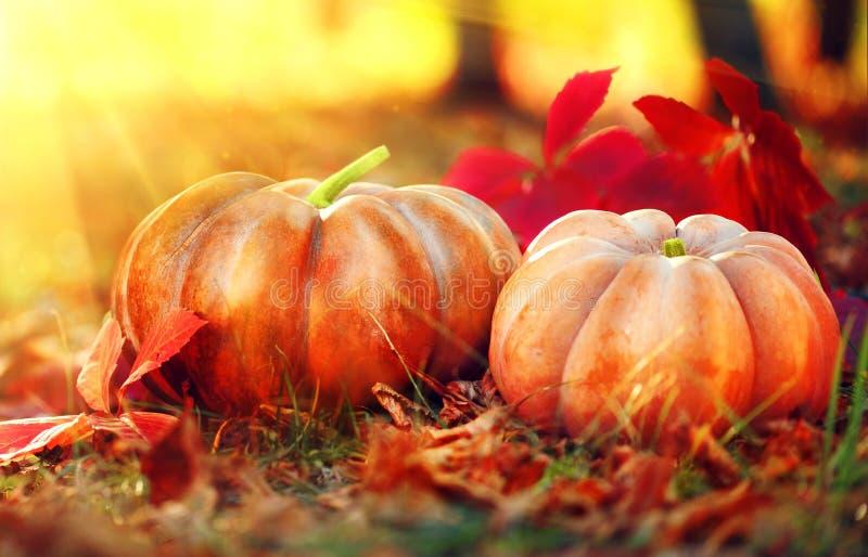 Thanksgiving dayachtergrond Oranje Pompoenen royalty-vrije stock fotografie