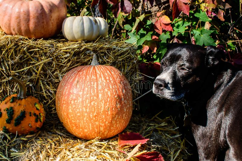 Thanksgiving Dog outdoors with autumn colorful Halloween pumpkin decoration or fall celebration background. Cute dog outdoors next to thanksgiving or aun royalty free stock images