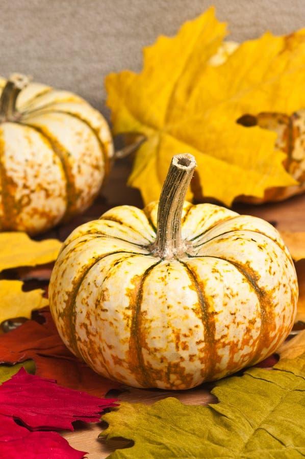 Thanksgiving had picked pumpkin royalty free stock photo