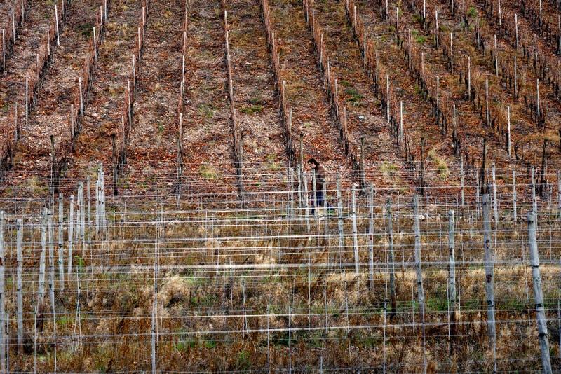 Thannwijngaard in de herfst stock afbeelding