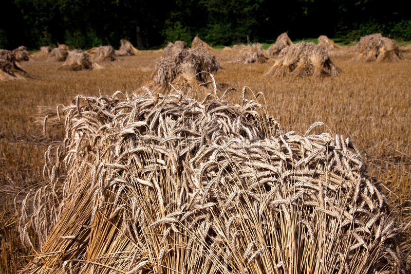 Thatch. Bundles of Thatch having been cut from a field of corn England UK stock photo