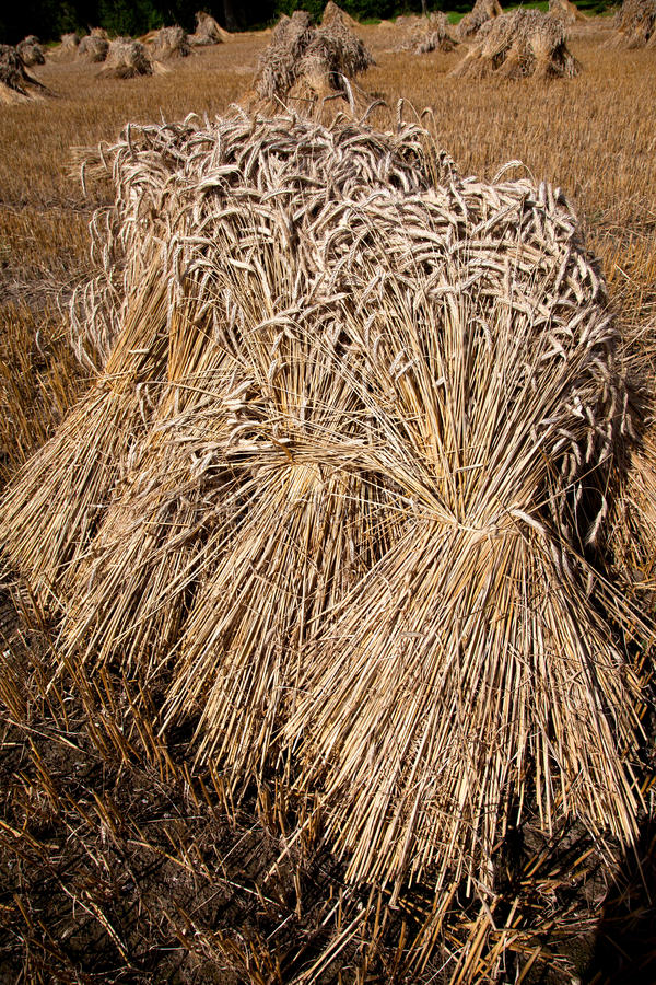 Thatch. Bundles of Thatch having been cut from a field of corn England UK royalty free stock images