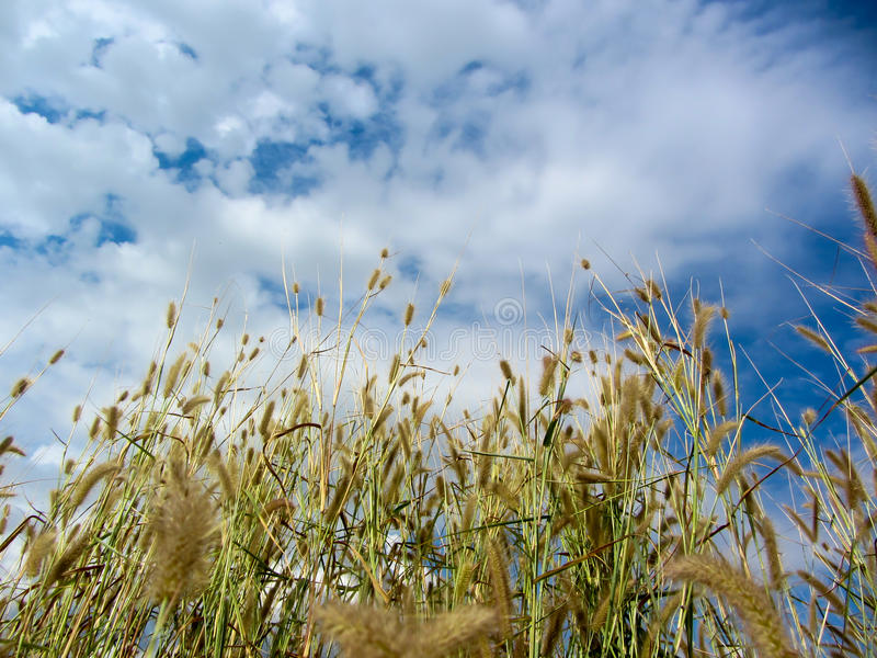 Thatch grass field. With blue sky cloud background royalty free stock images