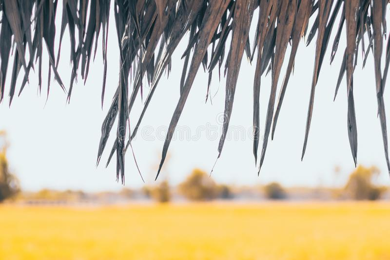 Thatched roof. Closeup of thatch roof with rice fields background royalty free stock photo