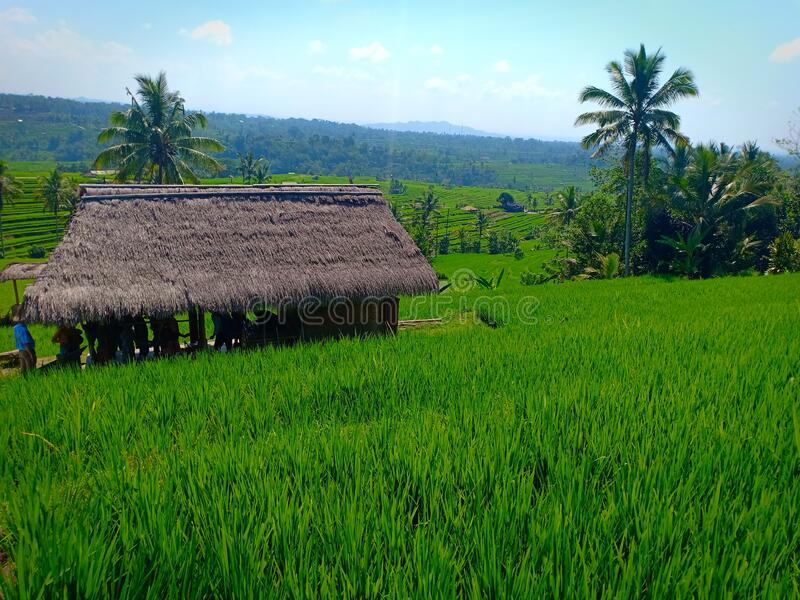 Resting area for tourist, a thatched roof hut on the middle of green rice field terraces in Jatiluwih, Bali island royalty free stock photo