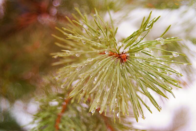 Thaw, the melting of the snow on the pine branches. The arrival of spring stock images