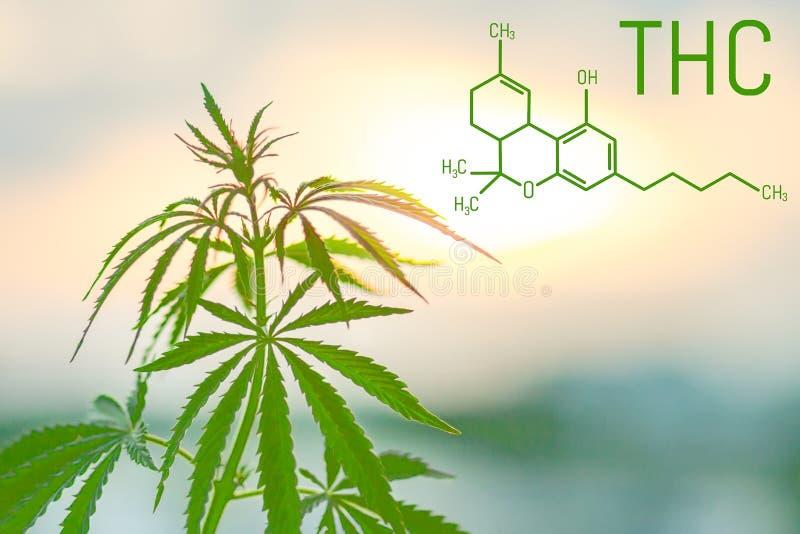 THC Tetrahydrocannabinol惯例对神经起显著作用的大麻发芽大麻 合法化植物的主题照片 免版税库存照片