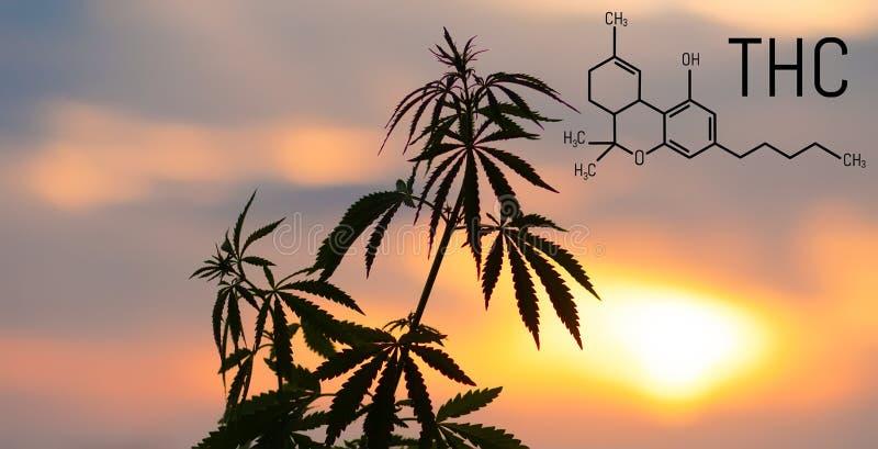 THC Tetrahydrocannabinol惯例对神经起显著作用的大麻发芽大麻 合法化植物的主题照片 免版税库存图片