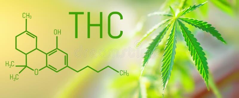 THC Tetrahydrocannabinol惯例对神经起显著作用的大麻芽桃莉 免版税图库摄影