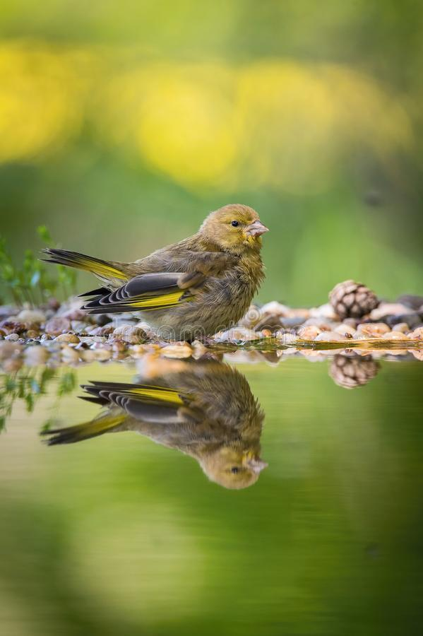 The European Greenfinch or just Greenfinch Chloris chloris. Is sitting at the forest waterhole, reflected in the surface, preparing for the bath stock photo