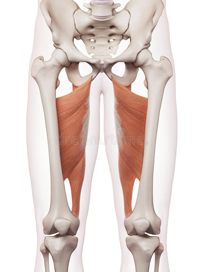 Free The Adductor Magnus Stock Photo - 57547850