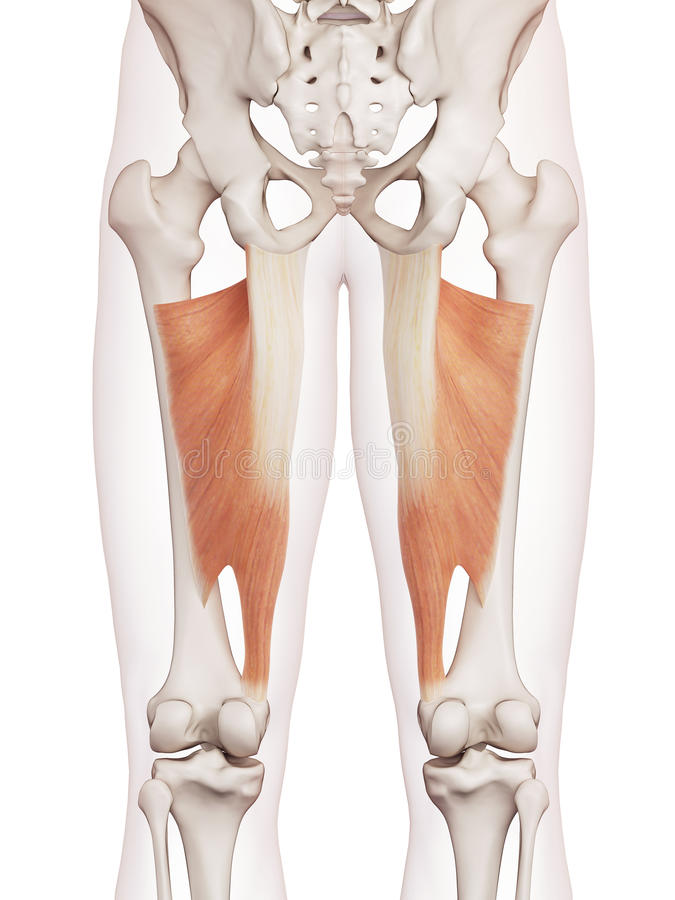 Free The Adductor Magnus Stock Photography - 57547852