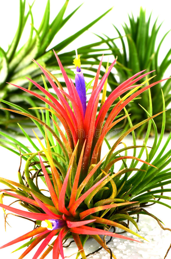 Free The Air Plants. Royalty Free Stock Photo - 49854175
