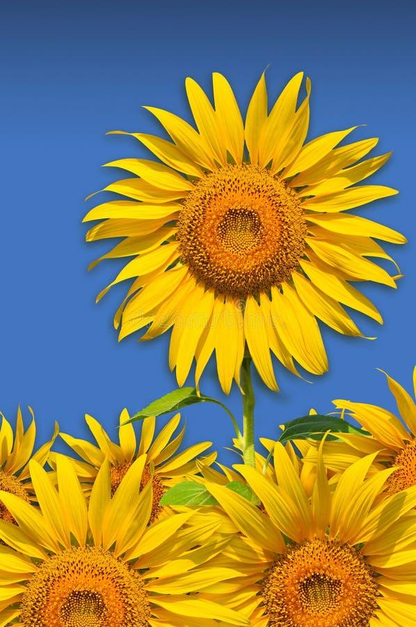 Free The Beautiful Yellow Sunflowers Stock Photos - 19706663