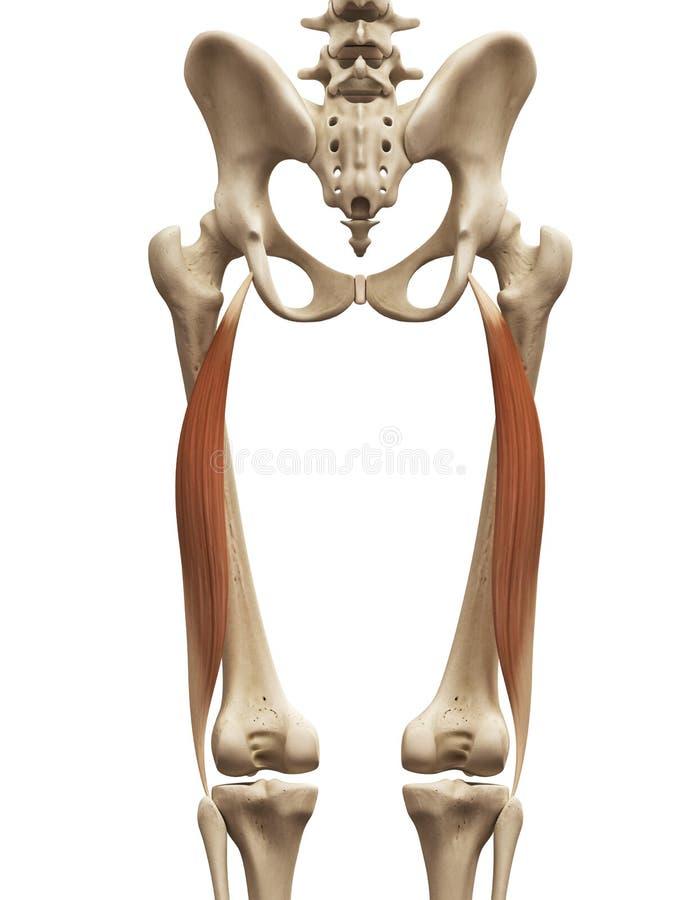 Free The Biceps Femoris Long Head Stock Photos - 45575363