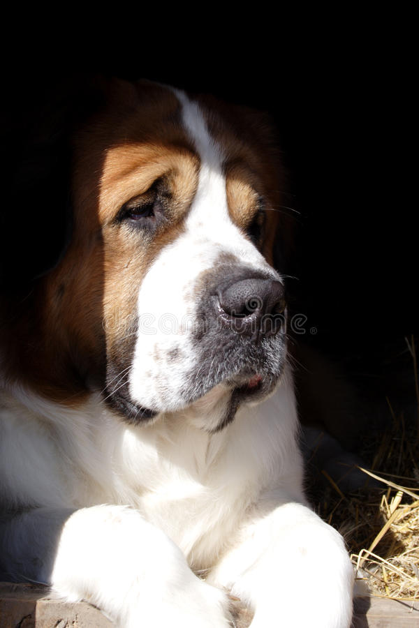 Free The Big Beautiful Dog In A Box Royalty Free Stock Photos - 27842378