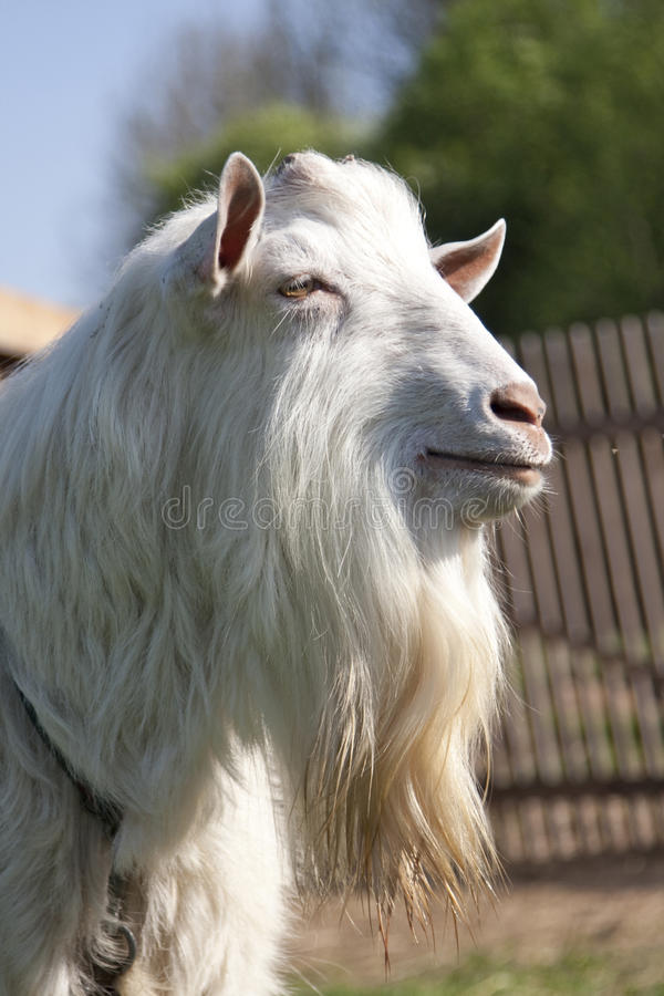 Free The Billy Goat Royalty Free Stock Photo - 14297575