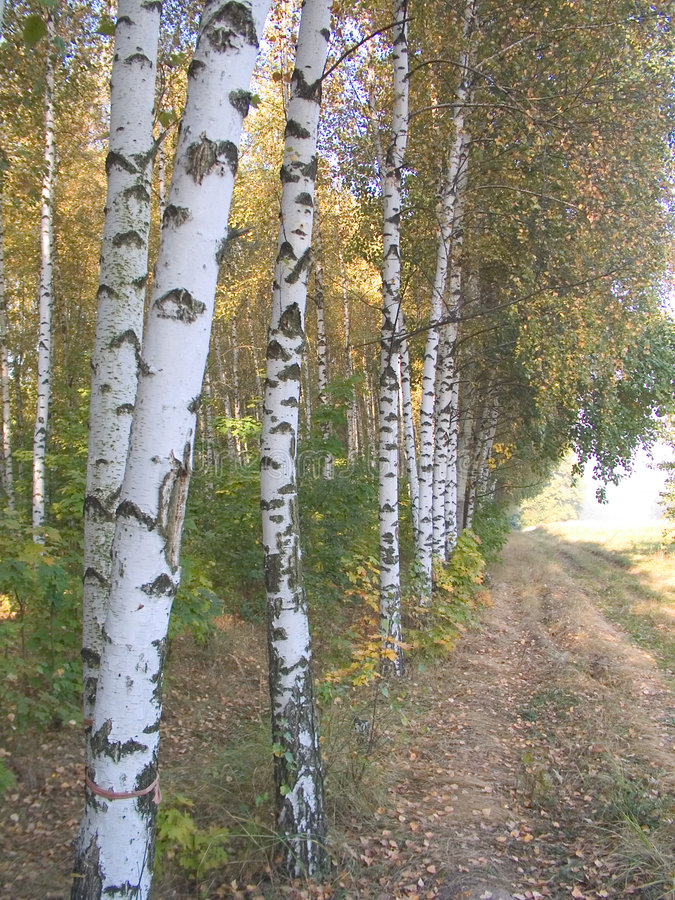 Free The Birch 1 Royalty Free Stock Images - 415949