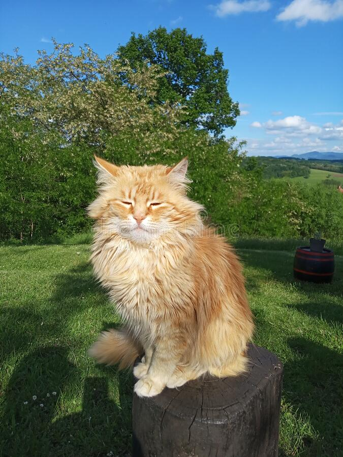 Free The Cat Poses On A Stump In Nature Stock Images - 184254304