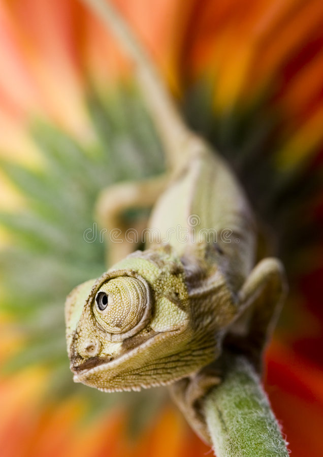 Free The Chameleon Royalty Free Stock Photography - 2926527