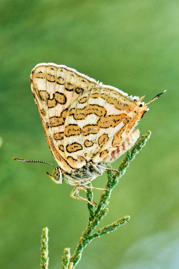 Free The Cigaritis Epargyros Butterfly In Green Background Stock Photos - 159756373