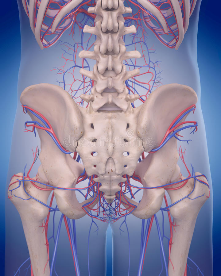 Free The Circulatory System - Posterior Hip Royalty Free Stock Image - 58831146