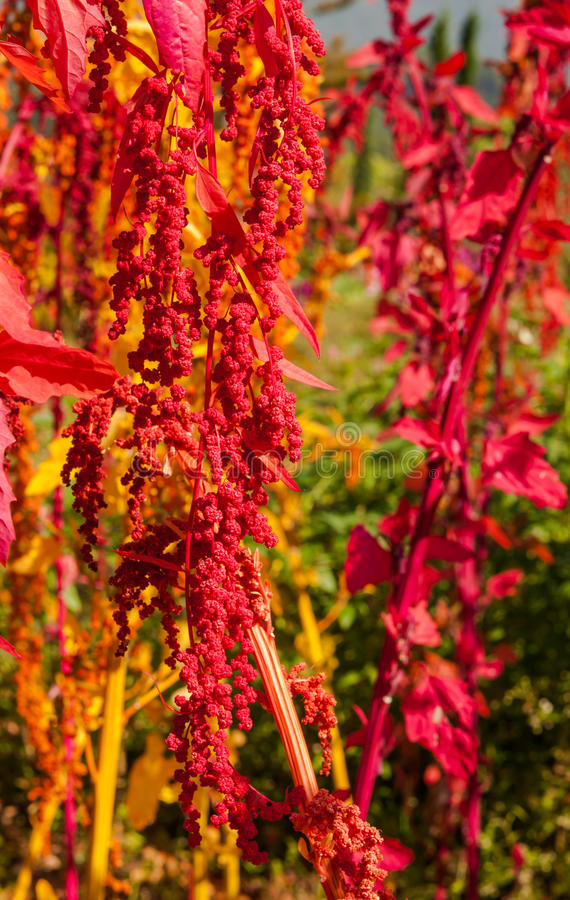 Free The Colorful Quinoa Tree In The Farm Stock Image - 39768151