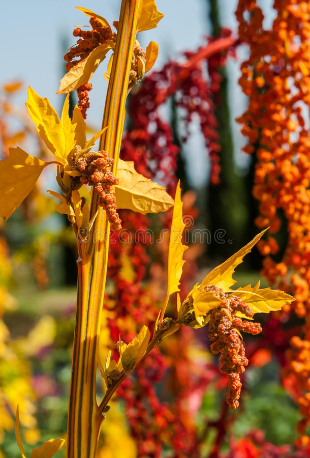 Free The Colorful Quinoa Tree In The Farm Royalty Free Stock Photos - 39768408