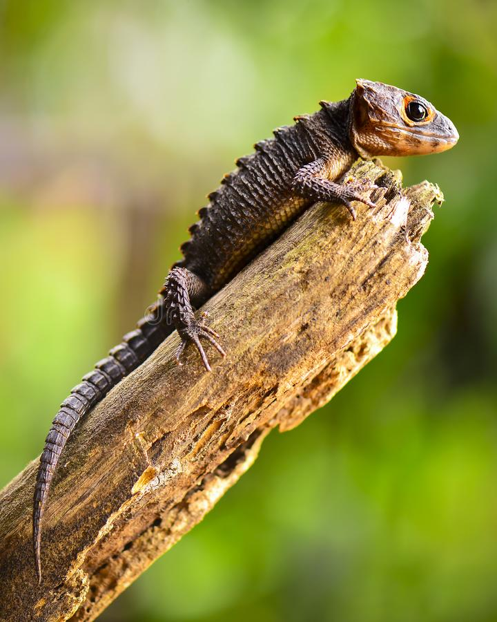 Free The Crocodile Skink -4 Royalty Free Stock Photography - 114716457