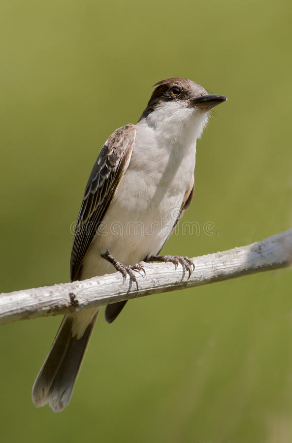 Free The Cuban Peewee Or Crescent-eyed Pewee Royalty Free Stock Photography - 21737827