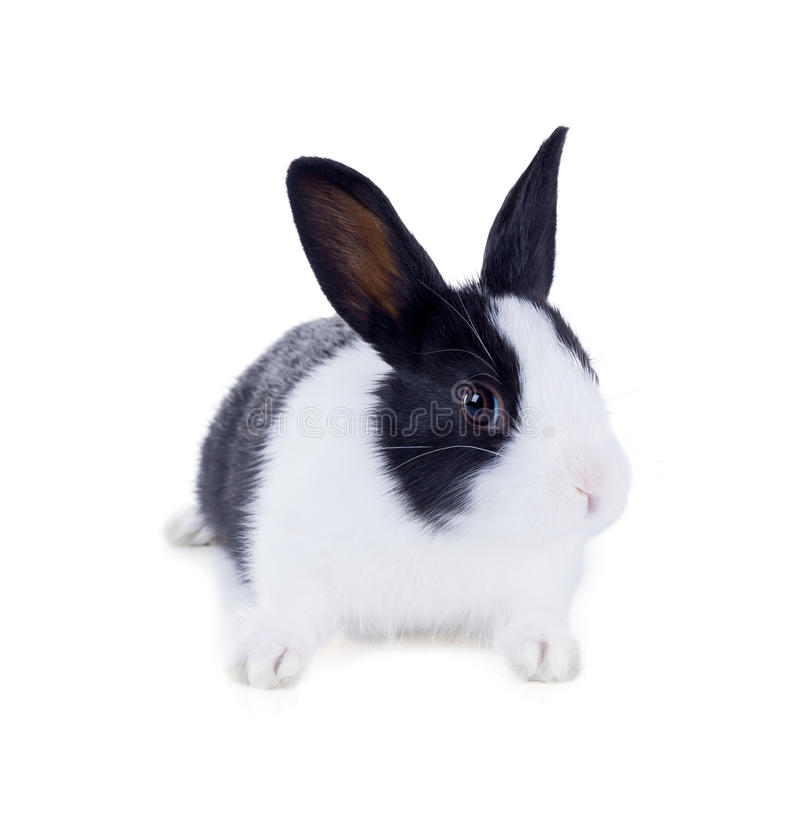 Free The Dwarf Rabbit, Also Known As Hollander. Isolated On White Background Stock Image - 67160831