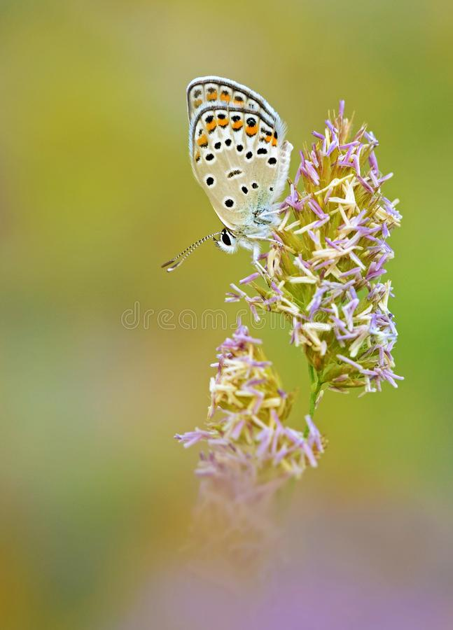 Free The Eastern Brown Argus Butterfly Or Polyommatus Eurypilus Stock Photography - 164742982