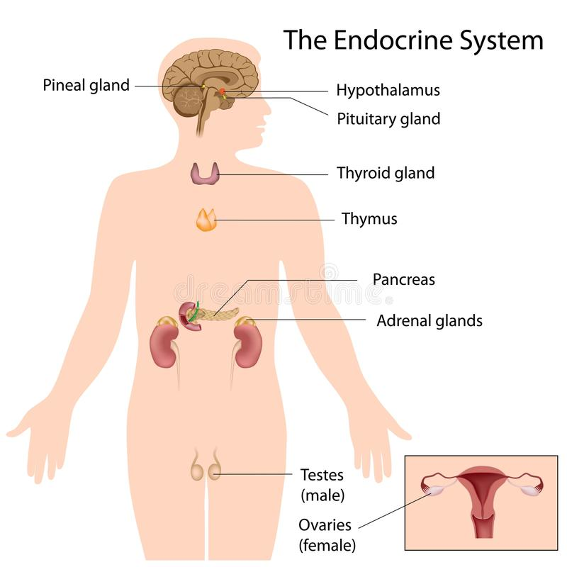 Free The Endocrine System Royalty Free Stock Images - 25923059