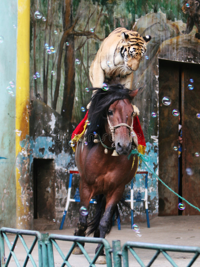 Free The Equestrian Tiger Of Circus Stock Photos - 6407363