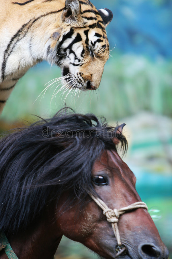 Free The Equestrian Tiger Of Circus Royalty Free Stock Photo - 6407415